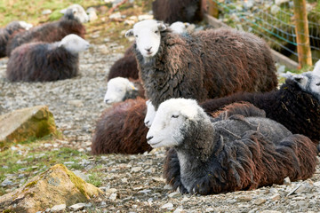A flock of Herdwick Sheep lying down on the rocky mountain ground in the English Lake District.