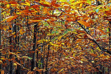 Passage between the branches of trees of Castanea sativa and colorful leaves in the forest in autumn