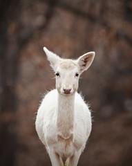 Albino Deer Closeup in the Woods