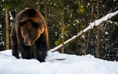 old brown bear walking in the winter spruce forest. lovely wildlife scenery in evening light