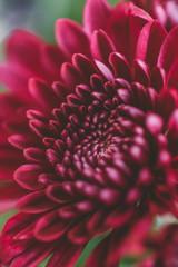 Macro shot of en vibrant red flower.