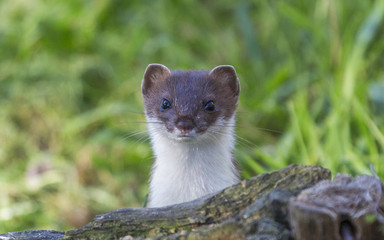 Curious weasel looks out from behind a rock