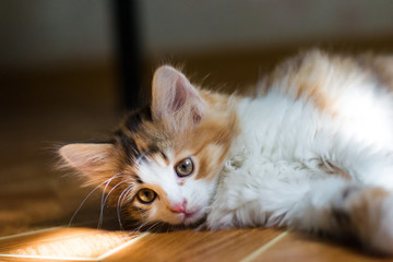 Small kitten lying on the floor and catches sunbeams