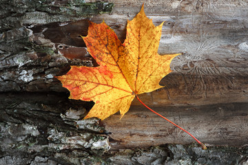 Yellow maple leaf on a tree bark background