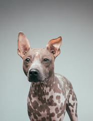 suspicious hairless terrier