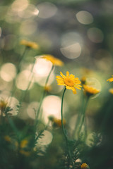 Yellow daisy meadow