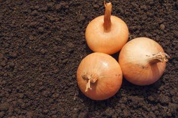 Three bulbs on black earth. Organic farming