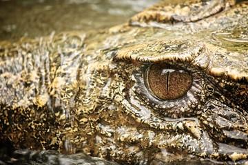 Caiman's eye
