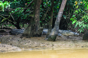 Crocodile lurking on the mud banks of the river Kinabatangan. Borneo. Malaysia.