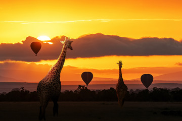 Giraffe Walking Into Sunrise in Africa