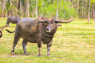 Asian water buffalo with long horns and funny tongue on grass background and copy space.