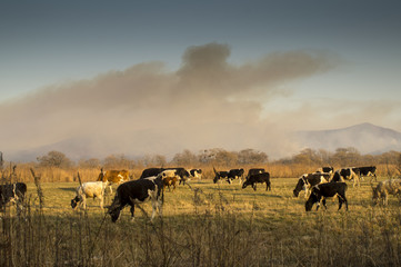 cows and wildfire