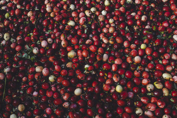 Close up of washed and organic cranberries
