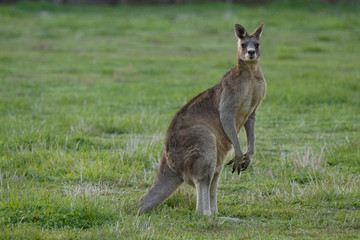 Eastern Grey Kangaroo (Macropus gigantus)
