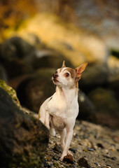 Chihuahua dog outdoor portrait in rocks