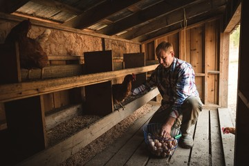 Farmer collecting eggs at the wooden henhouse with chickens