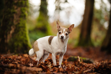 Chihuahua dog outdoor portrait standing in forest