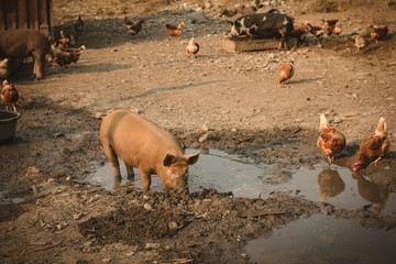 Pigs and hens eating food in farm