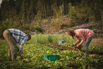 Two farmer harvesting turnip in field