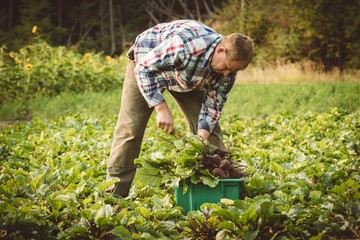 Farmer harvesting turnip in field