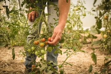 Farmer harvesting vegetables