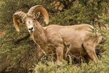 Rocky Mountain Bighorn Ram #1
