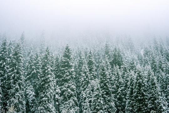 Mountains winter forest. Fit-tree forest covered in fog mist