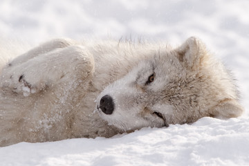 Arctic Wolf Pup Sleepy Time