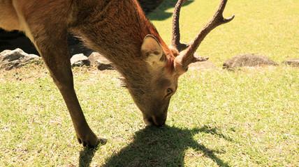 Deers in Nara Park, Japan