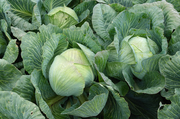 Background with a big fresh cabbage closeup. Cabbage on the bed.