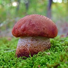 lecinum quercinum mushroom