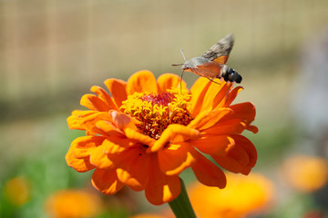 Hummingbird hawk-moth The hummingbird hawk-moth (Macroglossum stellatarum) is a species of moth. The hummingbird hawk-moth is distributed throughout the northern Old World from Portugal to Japan, but