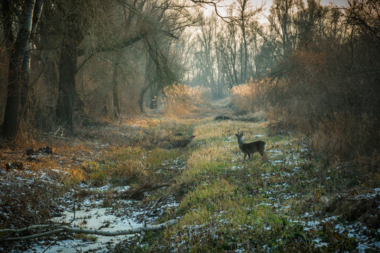 Winter day in forest with snow covered ground and roe deer