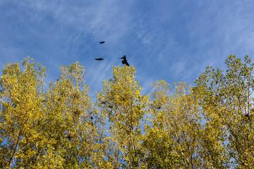 Colonia de Grajas en chopera. Corvus frugilegus.