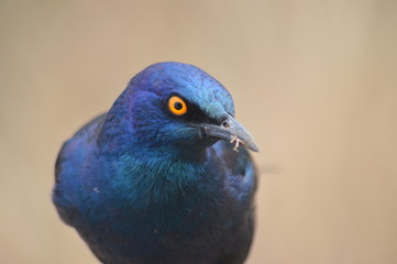 Blue Bird angry about the picture
