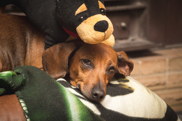 Dachshund Laying with Stuffed Toy