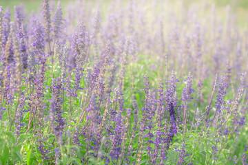 Purple lavender in the garden