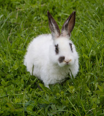 beautiful little white rabbit on green grass