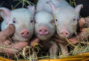 Small pig on a farm