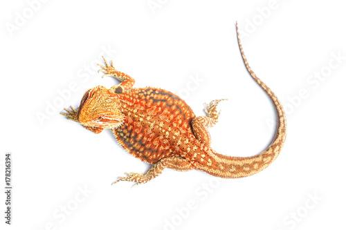 Bearded dragon dunner hat trans (Pogona vitticeps)