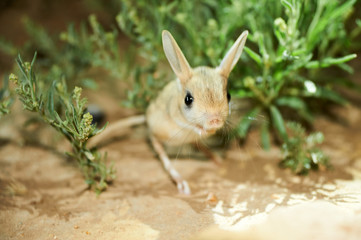 Jerboa / Jaculus. The jerboa are a steppe animal and lead a nocturnal life. Jerboas are hopping desert rodents found throughout Northern Africa and Asia east to northern China and Manchuria. They tend