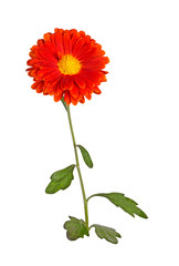 Stem with an orange and yellow flower of a fall chrysanthemum isolated