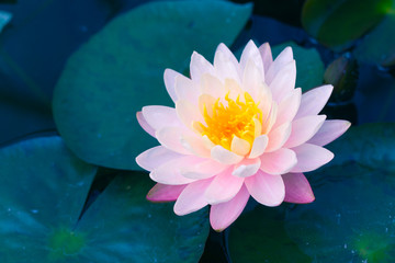 beautiful pink lotus the flower of Buddha beauty and calm in water pond