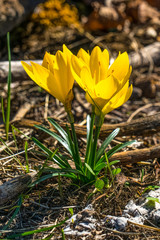 Winter Daffodil (sternbergia lutea) growing wild in Sicily, Italy