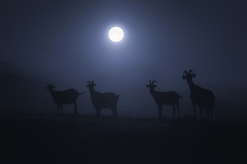 horned goats at night