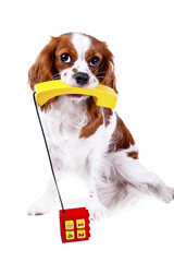 Cute dog photo for animal services. Dog with phone telephone for contact form in pet business or any other concept. Cavalier king charles spaniel dog puppy in white studio background. Contact form