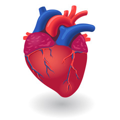 Human body heart organ