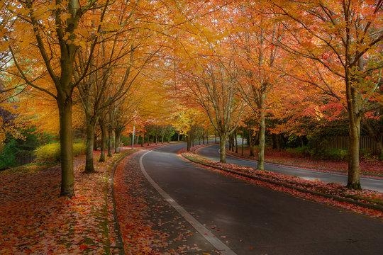 Maple Trees in Fall Colors at Suburban Neighborhood Street