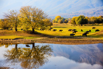 water buffalo grazing at sunset  next to the river Strymon in Northern Greece.