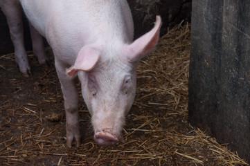 cochon dans une porcherie
